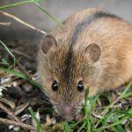 Мышь полевая как избавиться