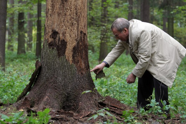 Признаки того, что деревья заселил короед. Симптомы