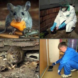Уничтожение крыс в Москве, цены, стоимость, методы
