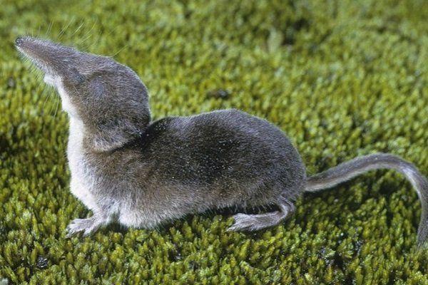 ᐉ Зверек похожий на мышь с длинным носом