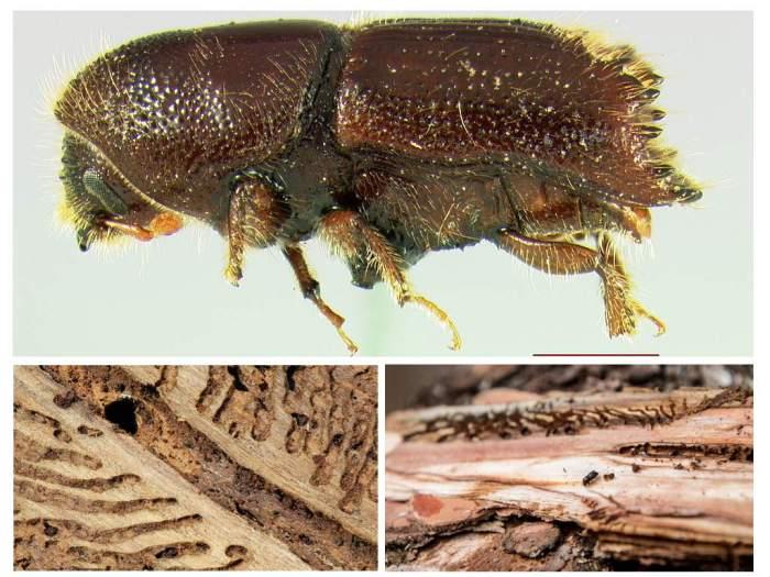 избавиться от жука короеда