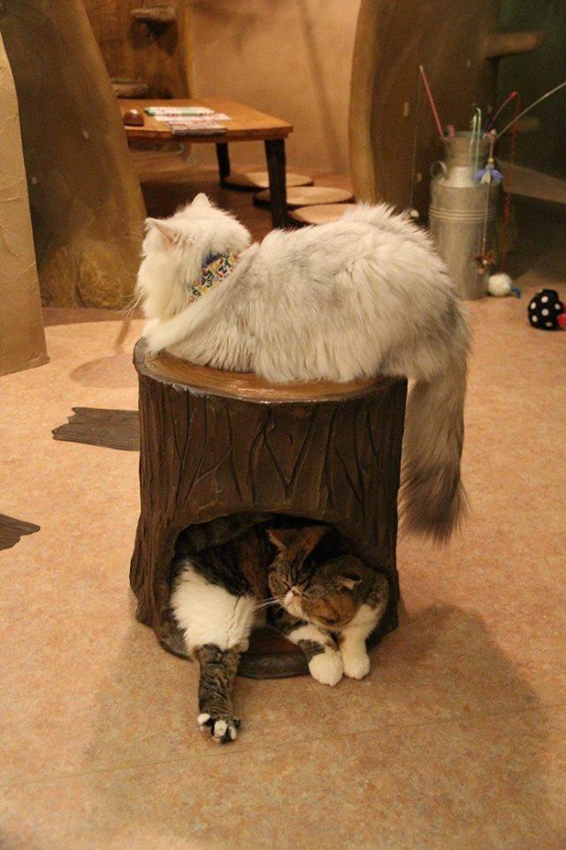 日本貓咖啡 | 寵分享的網站 @ http://i1.wp.com/寵分享.的網站.tw