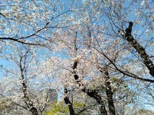 飛鳥山公園の桜・2020/03/25