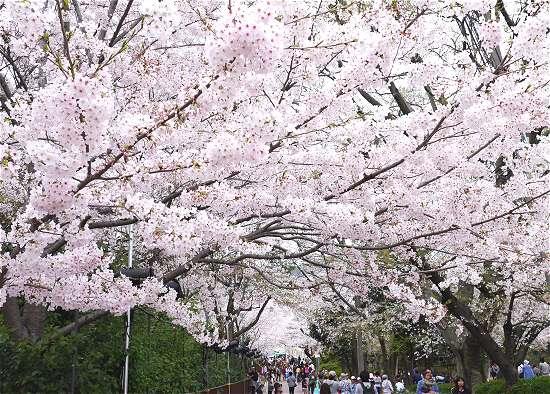 王子動物園 桜 通り抜け