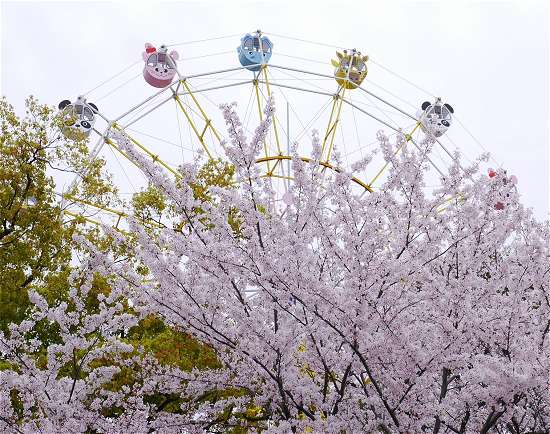 王子動物園 観覧車と桜