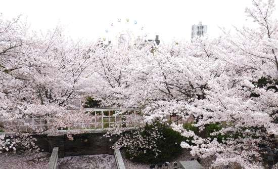 ハンター邸から見た桜