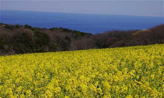 淡路花さじき 菜の花 春