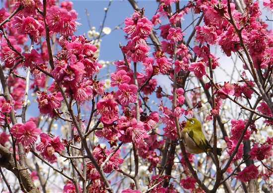 岡本神社の梅とウグイス
