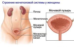 строение мочевой системы