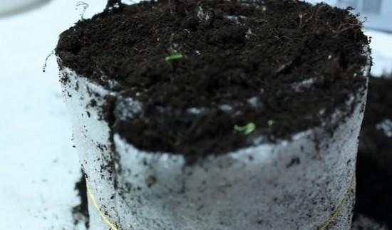 Как посадить рассаду на туалетной бумаге