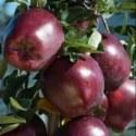 Яблоня Red Velox (Ред велокс)