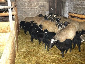 Flock of sheep of the Romanovskoy breed in the pot