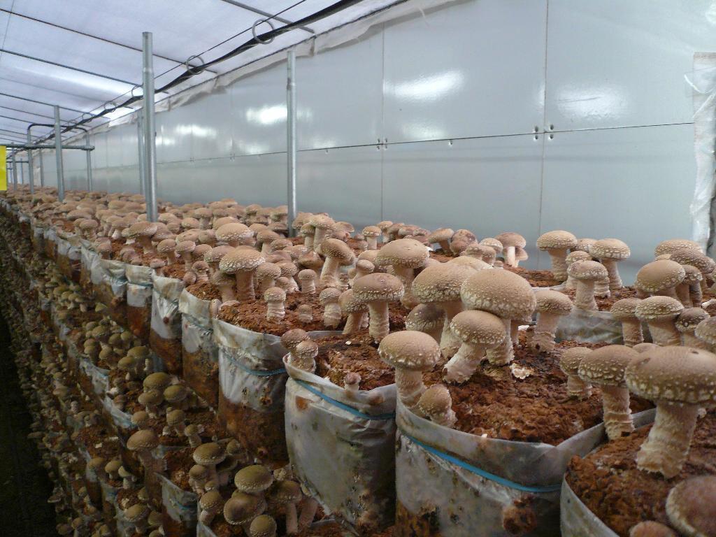 Cantina dove i funghi shiitak di Groves