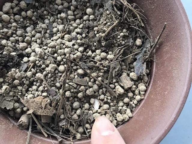 バターナッツの種を植えた鉢