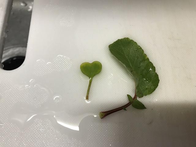 二十日大根の幼い葉と大人の葉