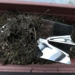 小松菜の根っこ