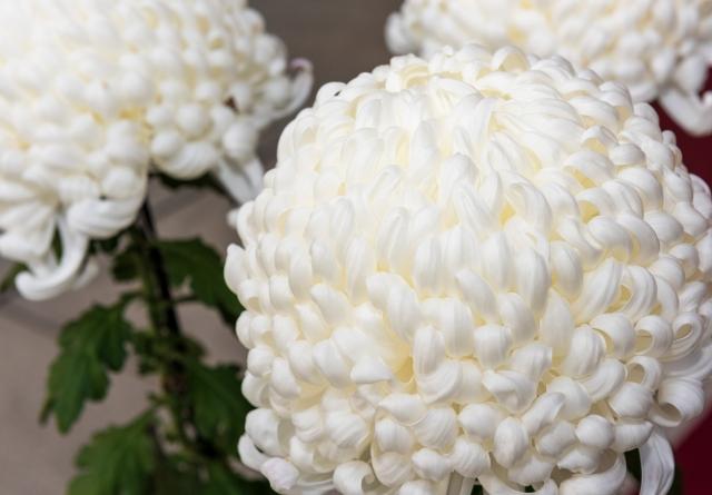 葬祭扶助で購入された菊の花