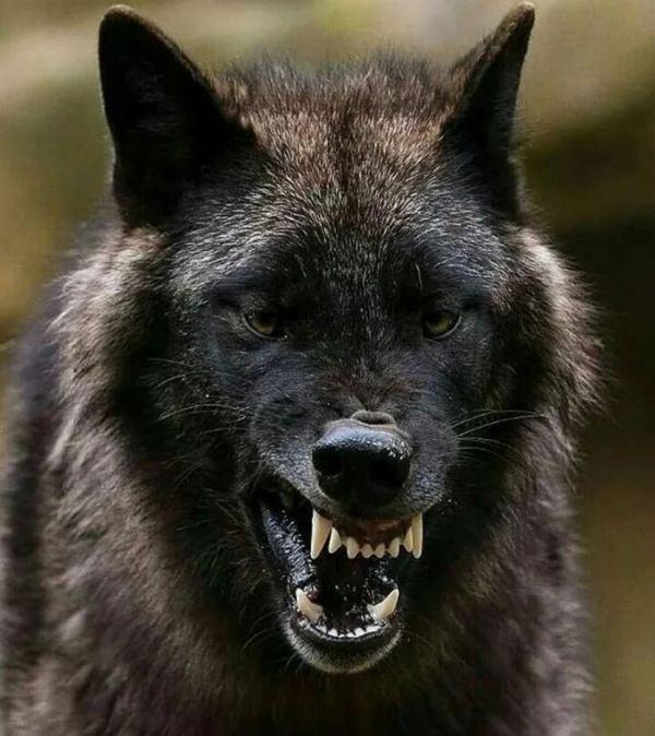 Фото волков: красивые картинки волка в природе