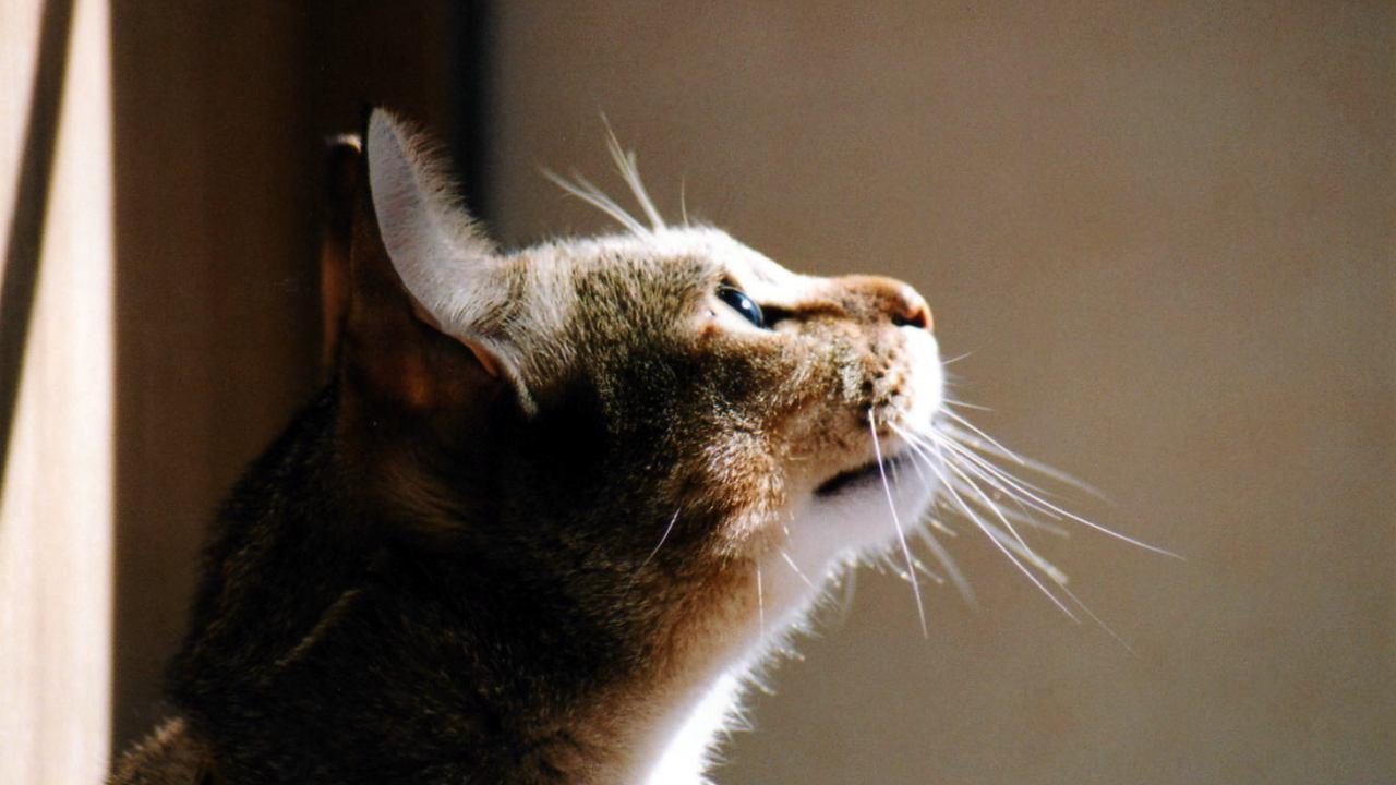猫肺水腫,寿命,治療法,症状,原因