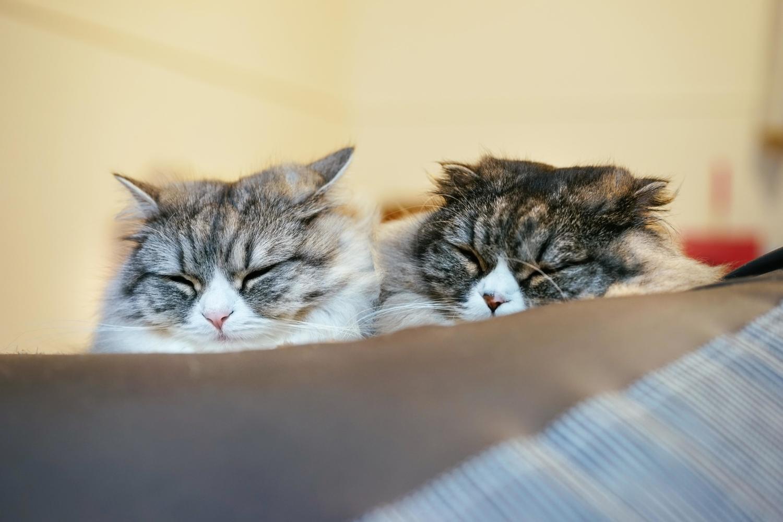 猫カリシウイルス感染症,治療,症状,潜伏期間
