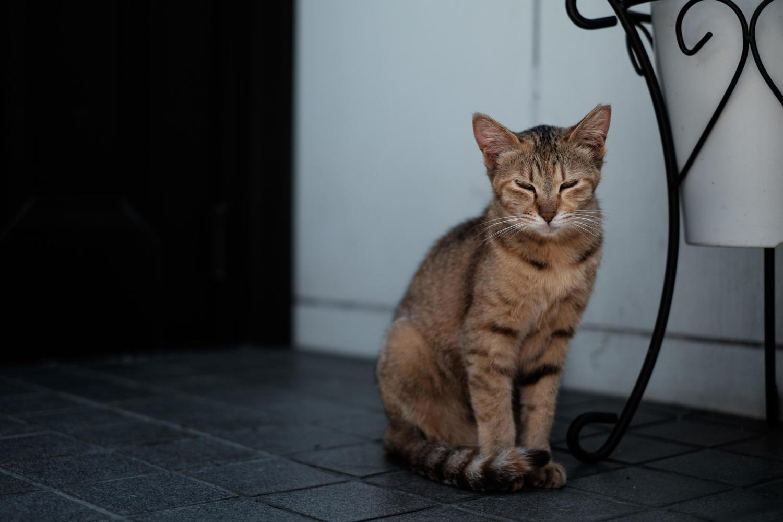 猫,脱臼,症状,治療
