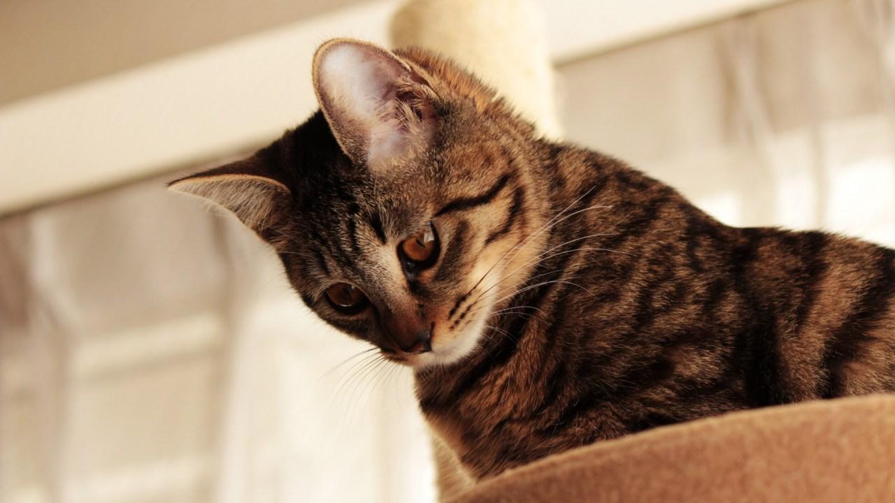 猫,横隔膜ヘルニア,原因,症状,治療法