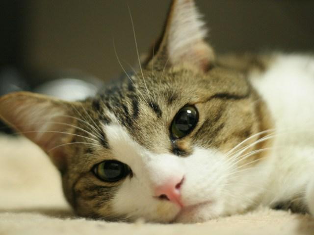 猫,鼻,怪我,治らない