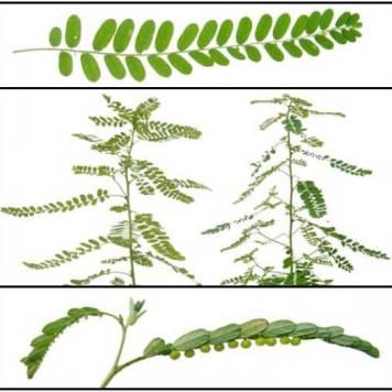 ChancaPiedra Phyllanthus niruri 1