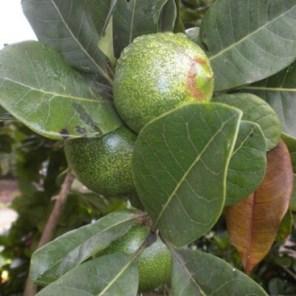 Lúcuma Pouteria lucuma 2