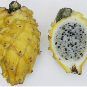 pitahaya pitaya Hylocereus undatus 6