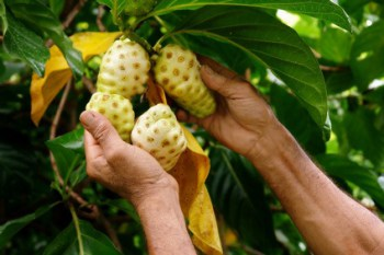 noni devil fruit 1
