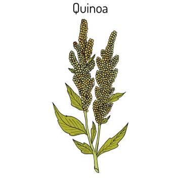 quinoa planta / plant