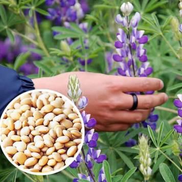 altramuz or tarwi o andean Lupino andino plant