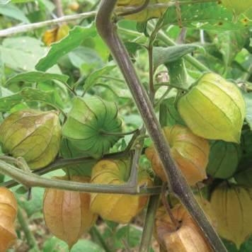 aguaymanto planta 1 alimentos andinos orgánicos