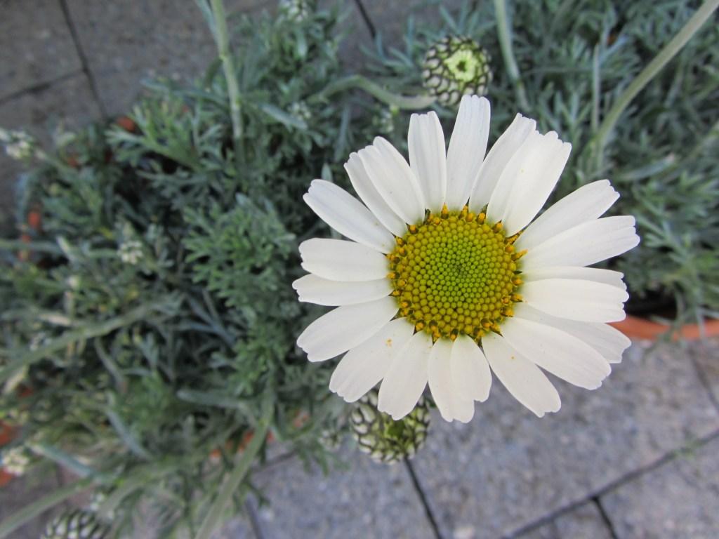 Blumen-Gärtnerei Müller - Margerite