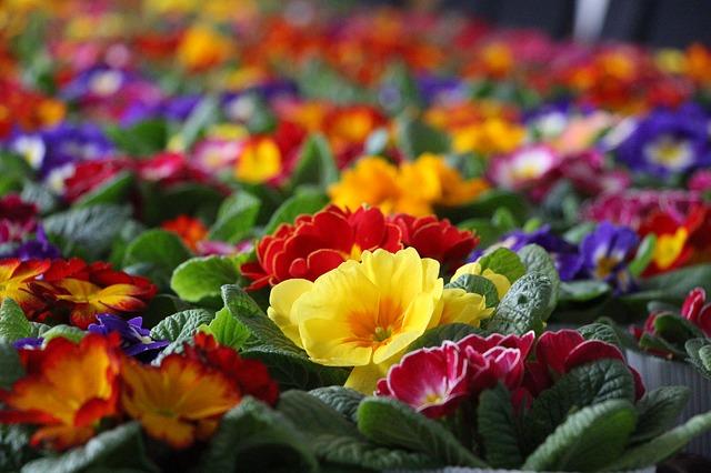 primula blomster