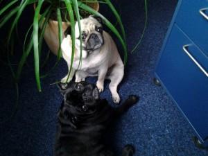 Erfahrungen mit Bürohunden: Bürohunde Fanny und Emma Bei der Allianz Generalvertretung Silke Rudolph