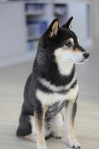 Bürohund pets Premium: Panda Bürohund bei pets Premium