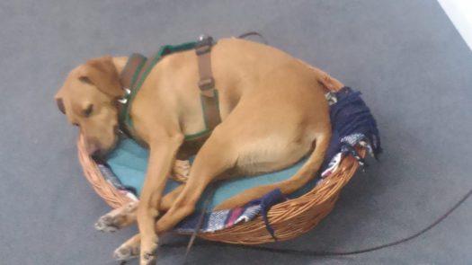 Welthundetag 2016 - Bürohund Max