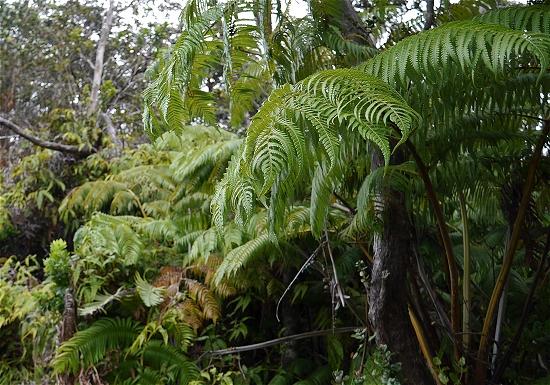 キラウエア火山原生林シダ植物