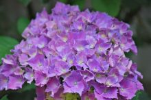 紫陽花 花言葉