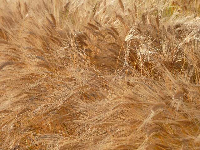 麦秋の候 意味