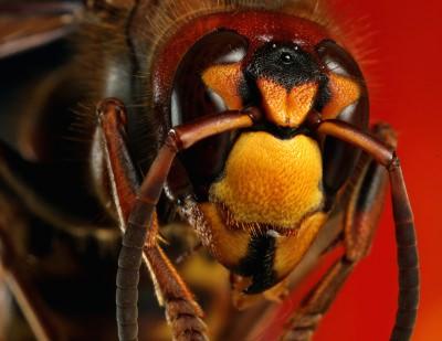 スズメバチ 種類