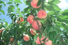 桃 栄養 効能