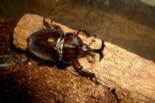 カブトムシ 幼虫