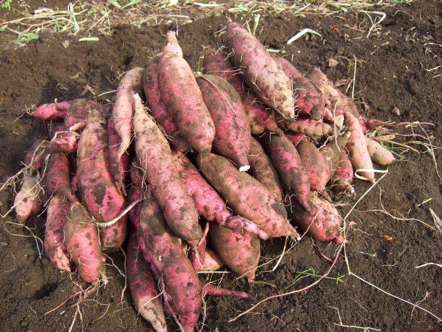 福岡県 芋掘り