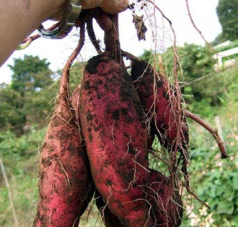 芋掘り体験 愛知県