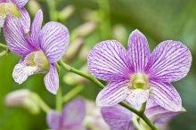 デンドロビウム 花言葉