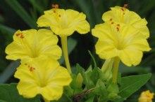 オシロイバナ 花言葉