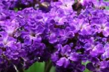 ヘリオトロープ 花言葉